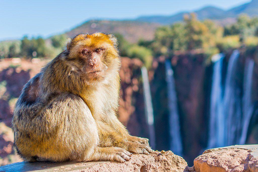 קוף במפלי האוזוד
